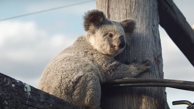 Arlo The Koala Stars In New Advertisement For Nrma With Regard To The Gray Barn Kind Koala Curtain Panel Pairs (View 15 of 50)