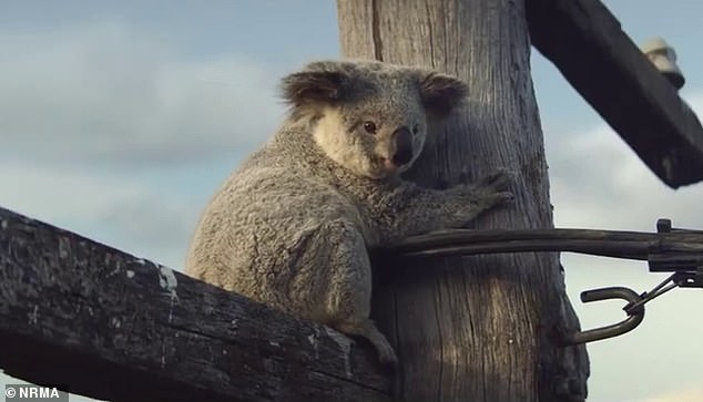 Heartbreaking New Nrma Tv Ad Highlights The Bleak Future Of For The Gray Barn Kind Koala Curtain Panel Pairs (View 41 of 50)