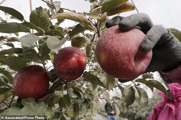 New Apple Called The Cosmic Crisp Is Set To Debut In Grocery Intended For Red Delicious Apple 3 Piece Curtain Tiers (View 25 of 50)