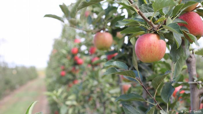 Spain: The Two Decade Long Plan To Save Catalonia′s Fruit With Apple Orchard Printed Kitchen Tier Sets (View 44 of 50)