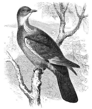 The Project Gutenberg Ebook Of Cassell's Book Of Birds, Pertaining To Cumberland Tier Pairs In Dove Gray (View 26 of 30)