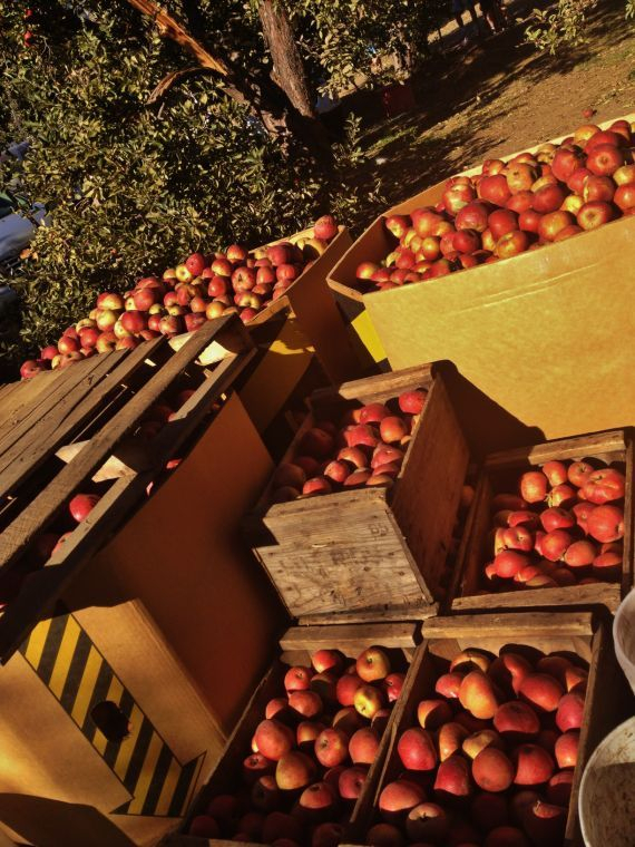 Top 5 Apple Picking Spots For Richmonders | Local Interest With Regard To Apple Orchard Printed Kitchen Tier Sets (View 49 of 50)
