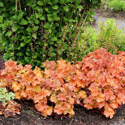 Northern Exposure™ Amber Coral Bells (with Images)   Coral Throughout Vera Outdoor Wall Lanterns (View 14 of 20)